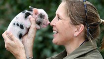 Smallest Pigs in the World 04